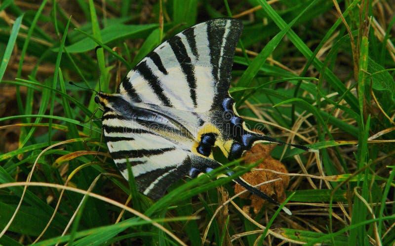 Schrecken swallowtail stockfoto