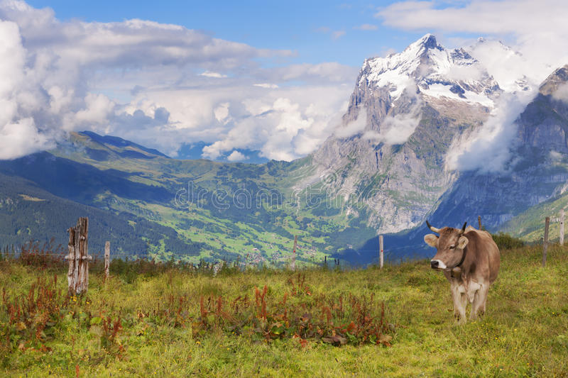 Schreckhorn, Valley Views, and a Swiss Cow in Switzerland. Scenic views near Grindelwald, in the Bernese Oberland of the Swiss Alps of Switzerland, where a cow royalty free stock photography