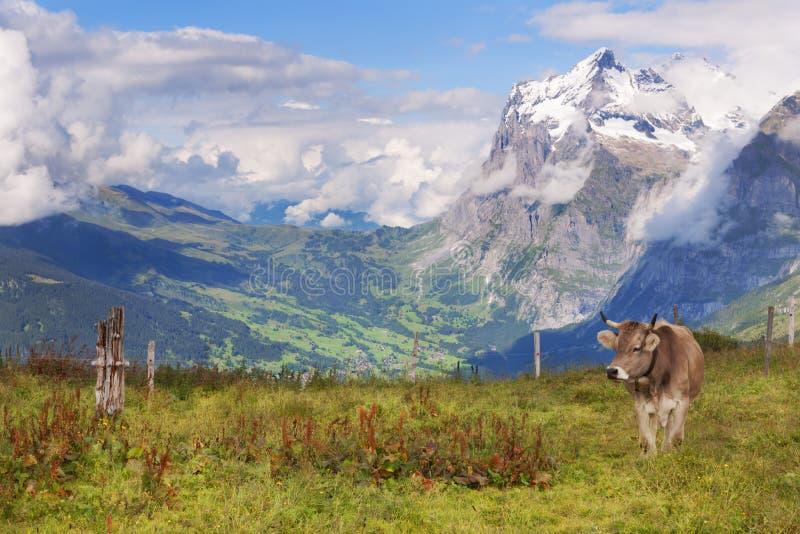 Schreckhorn, vistas, e uma vaca suíça fotografia de stock royalty free