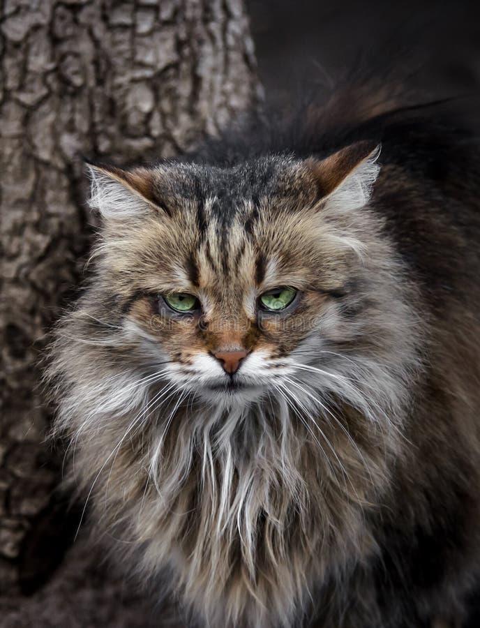 Schreckliche einsame sibirische Katze untersucht gequälte Augen die Kamera lizenzfreie stockbilder