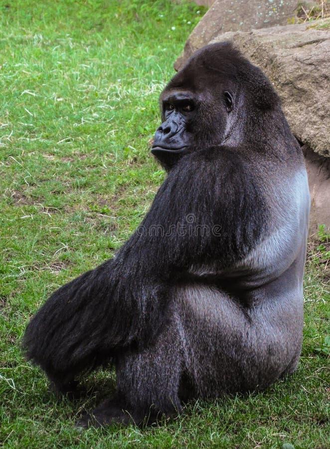 Schrecklicher Gorilla, Zoo Prag, Tschechische Republik lizenzfreie stockfotos