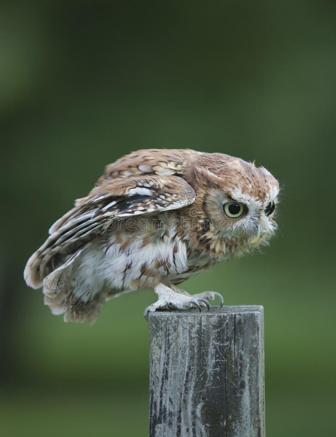 Schrei Owl Red Phase auf Zaunbeitrag stockbild