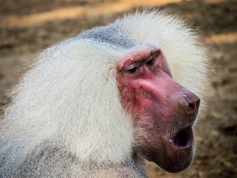 Schreien des Affen stockbild