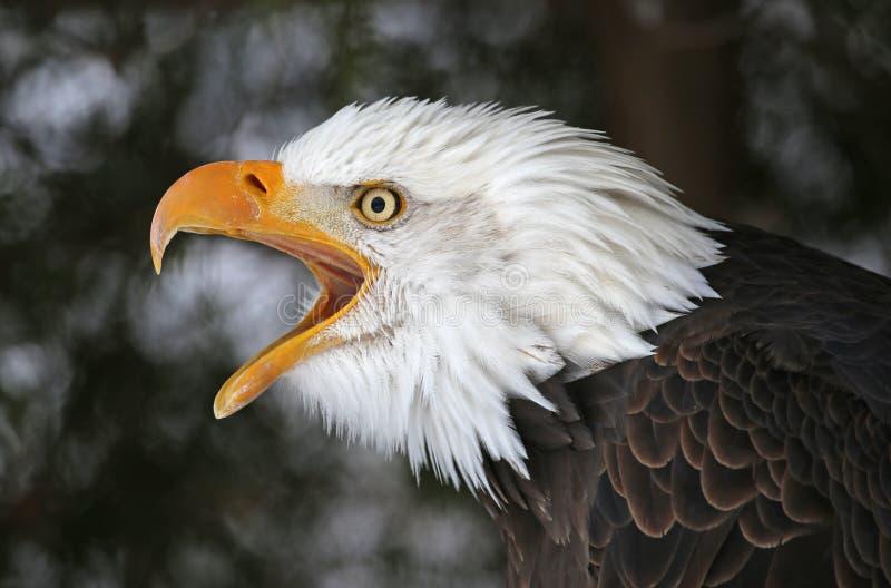Schreien des Weißkopfseeadlers stockbilder