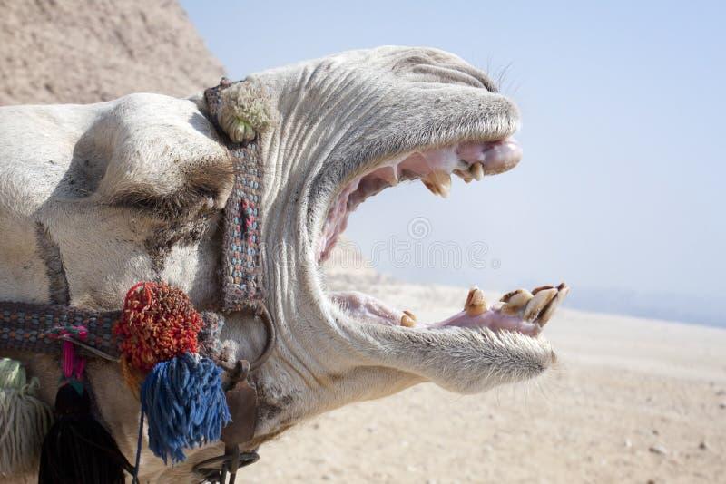 Schreiendes Kamel Lizenzfreies Stockbild