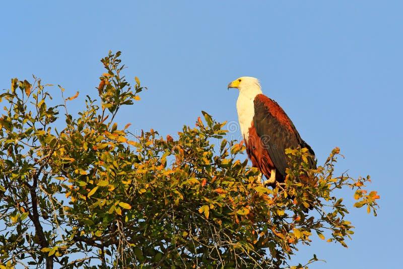 Schreiseeadler, Haliaeetus vocifer, brauner Vogel mit Hirsekorn Eagle, das auf den Wipfel, blauer Himmel im Hintergrund sitzt Wer stockfotografie