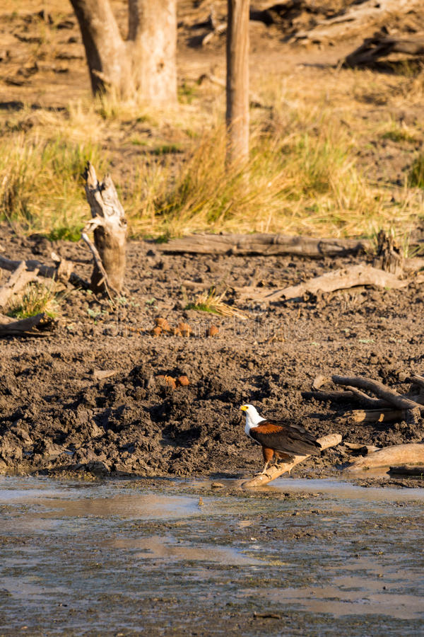 Schreiseeadler Haliaeetus vocifer, das aus den Grund, Südafrika hockt lizenzfreie stockbilder