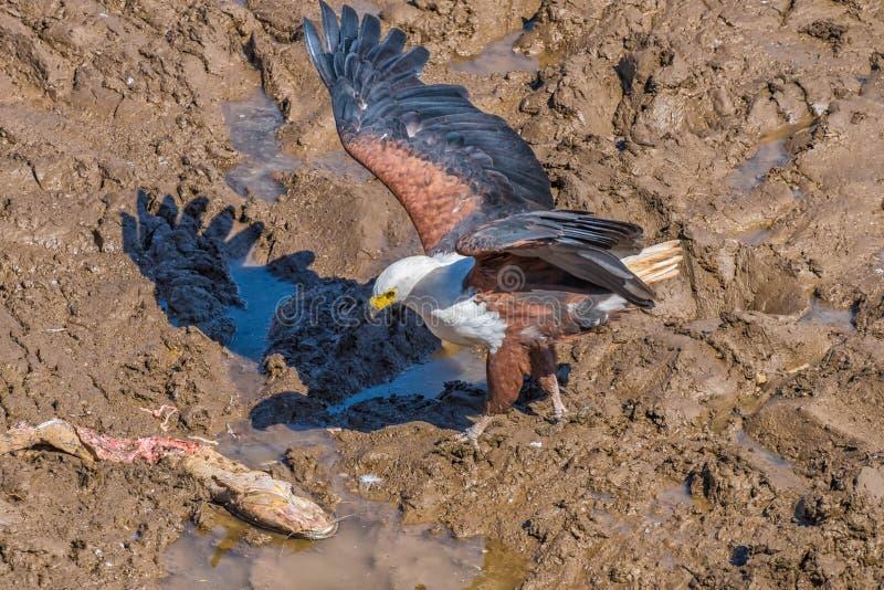 Schreiseeadler, Haliaeetus vocifer, mit einem Wels im Schlamm lizenzfreie stockfotos