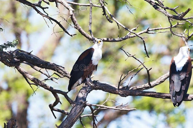Schreiseeadler, Haliaeetus vocifer, Namibia stockfotos