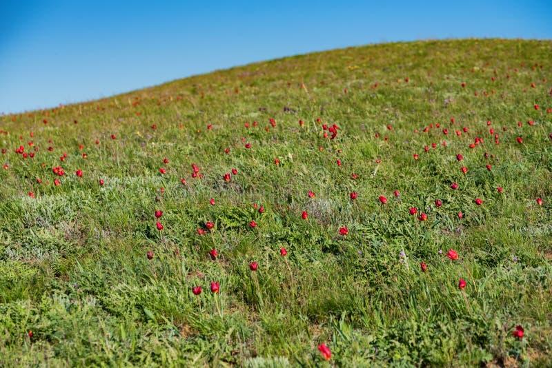 Schrencks tulpan eller TulipaTulipaschrenkii och iriers i stäppfältet royaltyfria bilder
