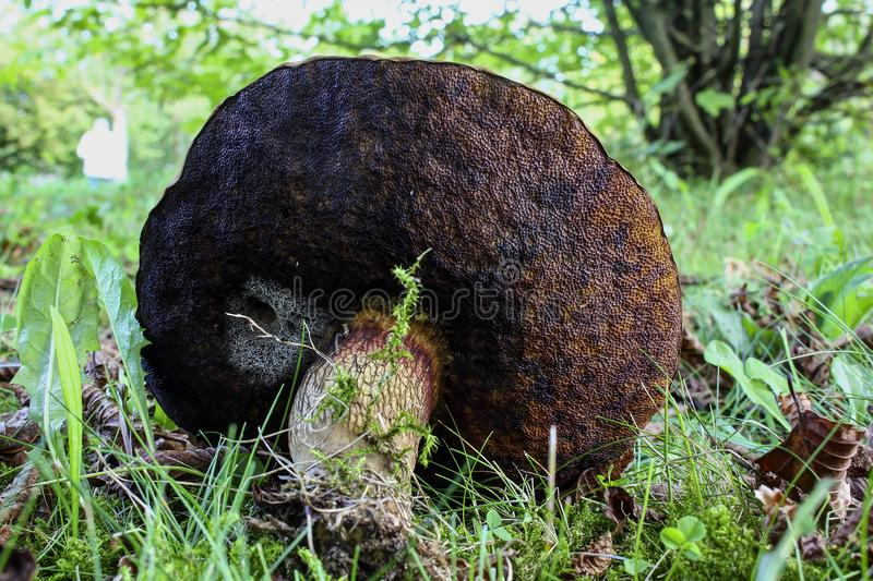 Schrille bolete, Suillellus-Luridus syn Boleetluridus, Beieren, Duitsland, Europa royalty-vrije stock foto's