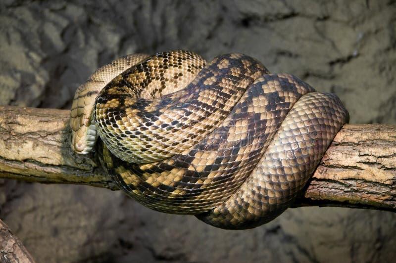 Schrob python royalty-vrije stock foto's