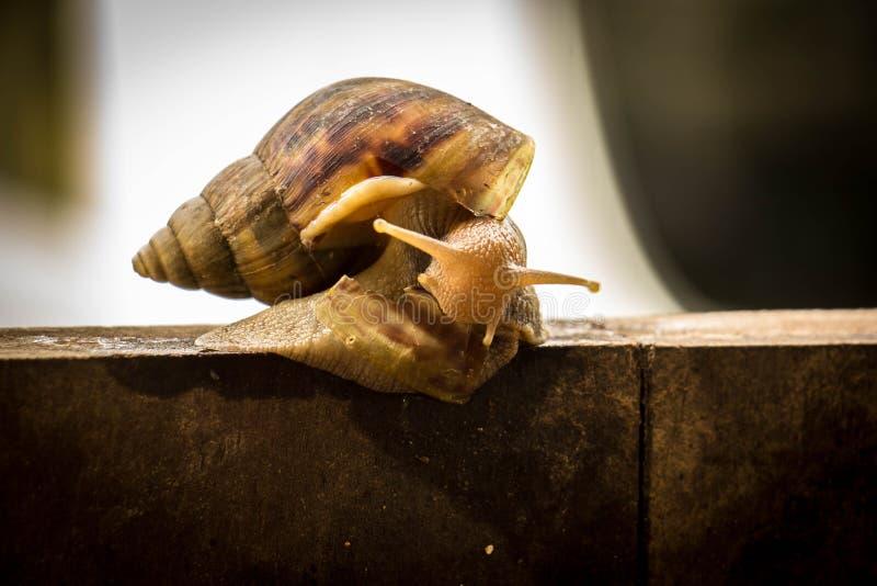 Schroefpomatia, gemeenschappelijke namen de slak van Bourgondië, Roman slak, het EDI stock fotografie