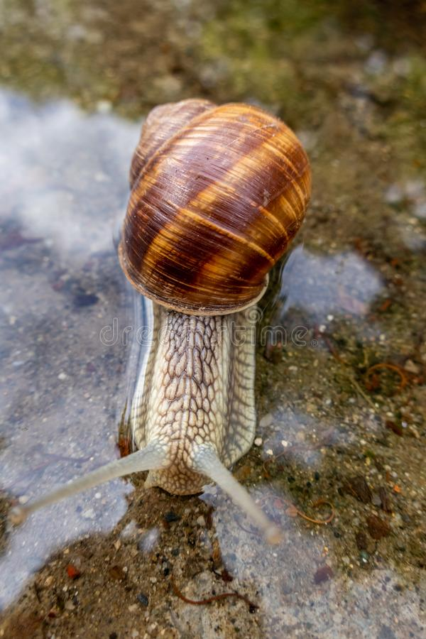Schroefpomatia, Roman slak, de slak van Bourgondi?, eetbare slak of escargot royalty-vrije stock foto