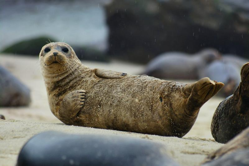 Schronienie foka. obrazy stock