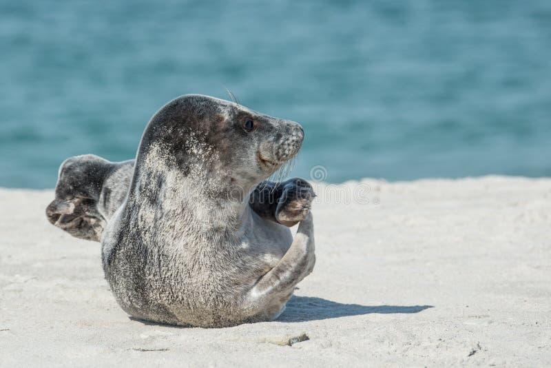 Schronienie foka, foki, fauny, Ziemny zwierzę zdjęcia stock