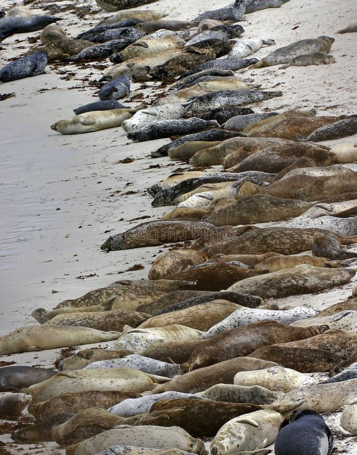 Schronienie foki zdjęcie royalty free