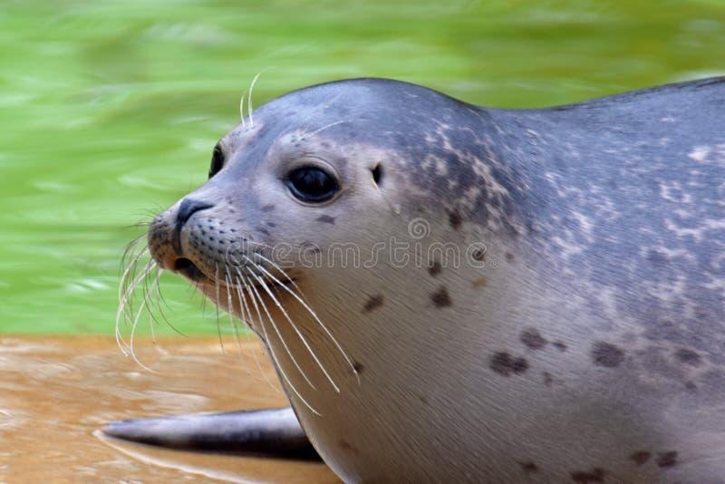 Schronienie foki Phoca vitulina zdjęcie stock