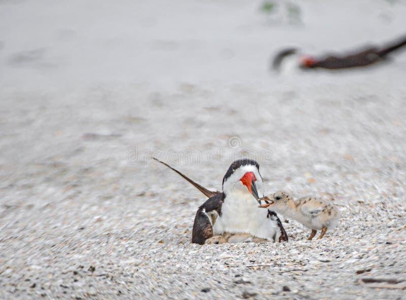 Schuimspaan Chick Begging Skimmer Adult voor Voedsel op Indisch Rotsenstrand, Florida royalty-vrije stock afbeelding