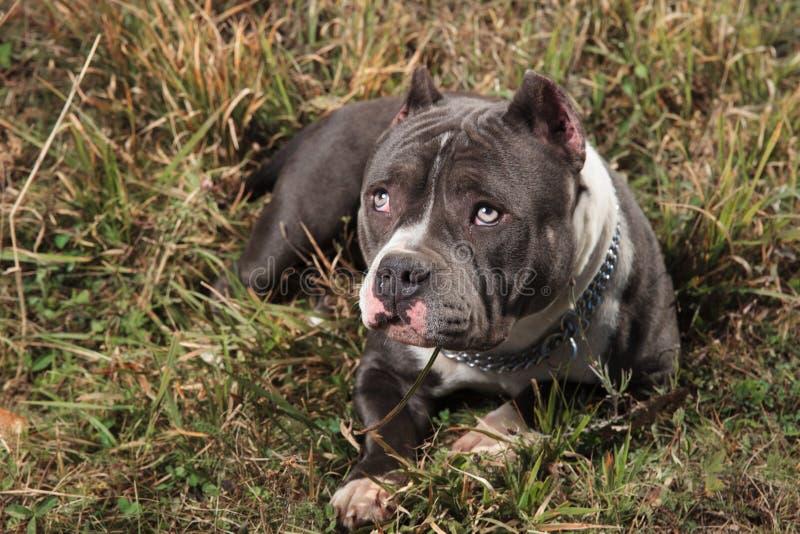 Schuldige Amstaff-hond die naar omhoog met puppyogen staren royalty-vrije stock foto's