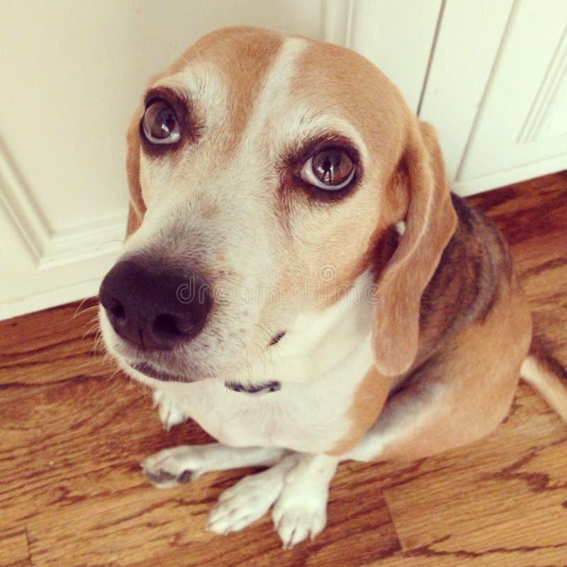 Schuldige hond royalty-vrije stock fotografie