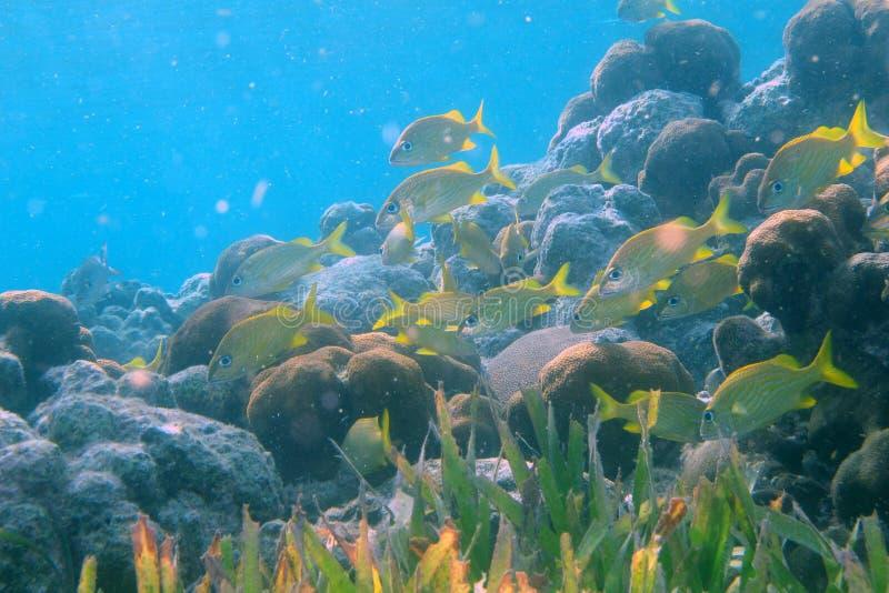Schule des Grunzens auf einem Korallenriff stockbild
