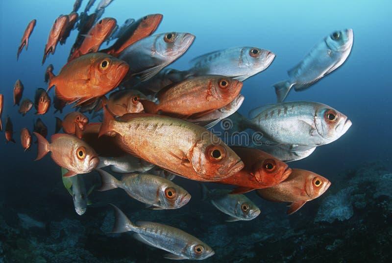 Schule des Mosambik-Indischen Ozeans von Halbmondendstückgroßaugen (Priacanthus hamrur)