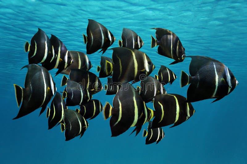 Schule des tropischen Fische Franzoseengelhais lizenzfreies stockfoto