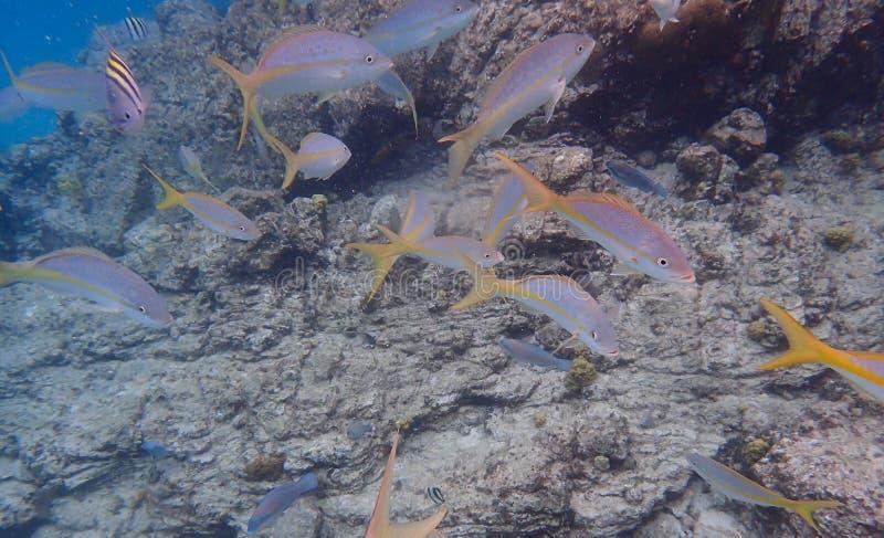 Schule von den Gelbschwanzrotbarschfischen, die warten, Hundekuchen eingezogen zu werden stockbilder