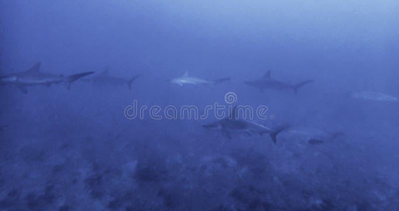 Schule von den Hammerhaien, die über Riff schwimmen stockfotografie