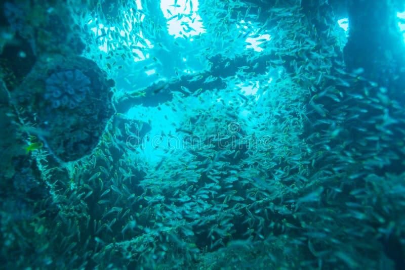 Schule von Glasfischen innerhalb des Schiffbruchs lizenzfreie stockfotos