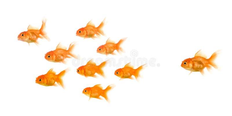 Schule von Goldfish lizenzfreie stockfotos