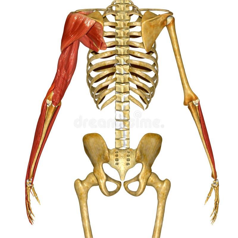 Schulter-Muskeln stock abbildung. Illustration von karosserie - 55592699