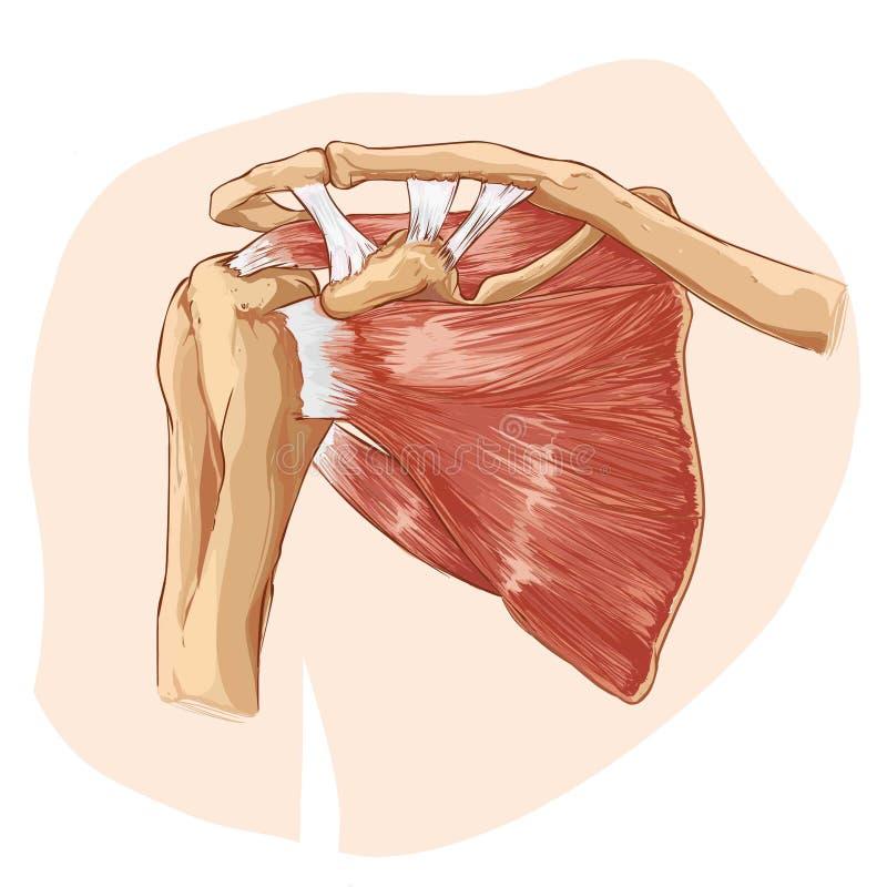 Schulteranatomie vektor abbildung. Illustration von muskel - 53691960