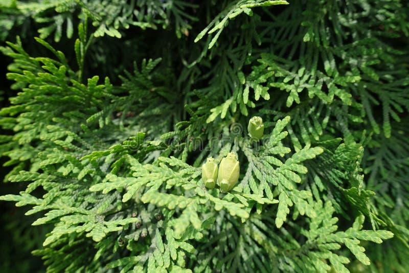 Schuppige Blätter und Samenkegel von Thuja occidentalis stockfotografie