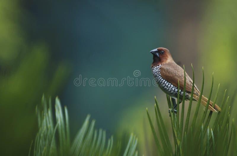 Schuppiger breasted Munia-Vogel mit buntem hinterem Tropfen lizenzfreie stockbilder