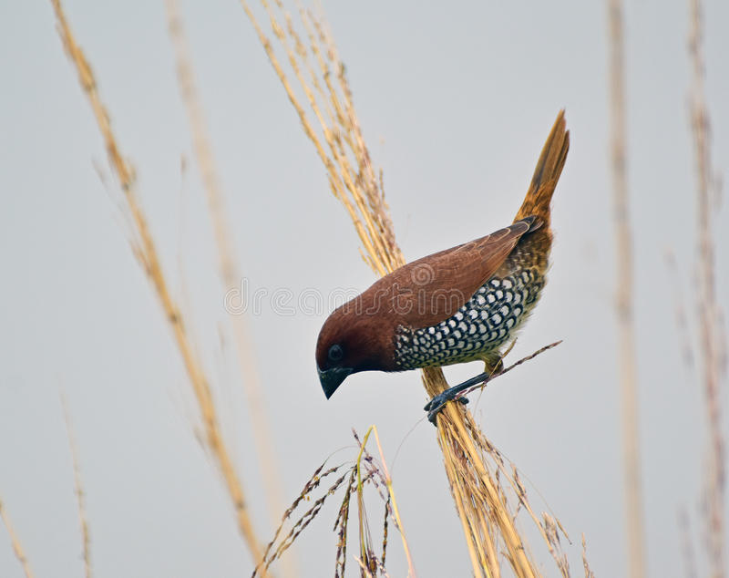 Schuppiges-breasted Munia lizenzfreies stockfoto