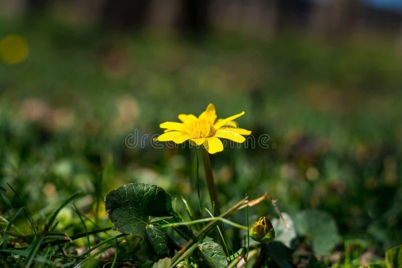 Schutz des Erdkonzeptes - ein gelber Blumenbutterblumeabschluß oben in den Dickichten des grünen Grases, sonniger Sommertag, sele lizenzfreie stockbilder