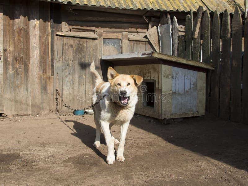 Schutzhund auf einer Kette lizenzfreies stockfoto