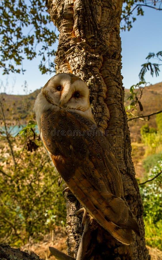 Schuur Owl Tyto Alba coruja-Das royalty-vrije stock foto's