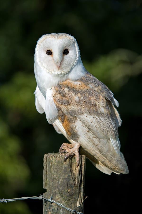 Schuuruil (alba Tyto) royalty-vrije stock afbeeldingen