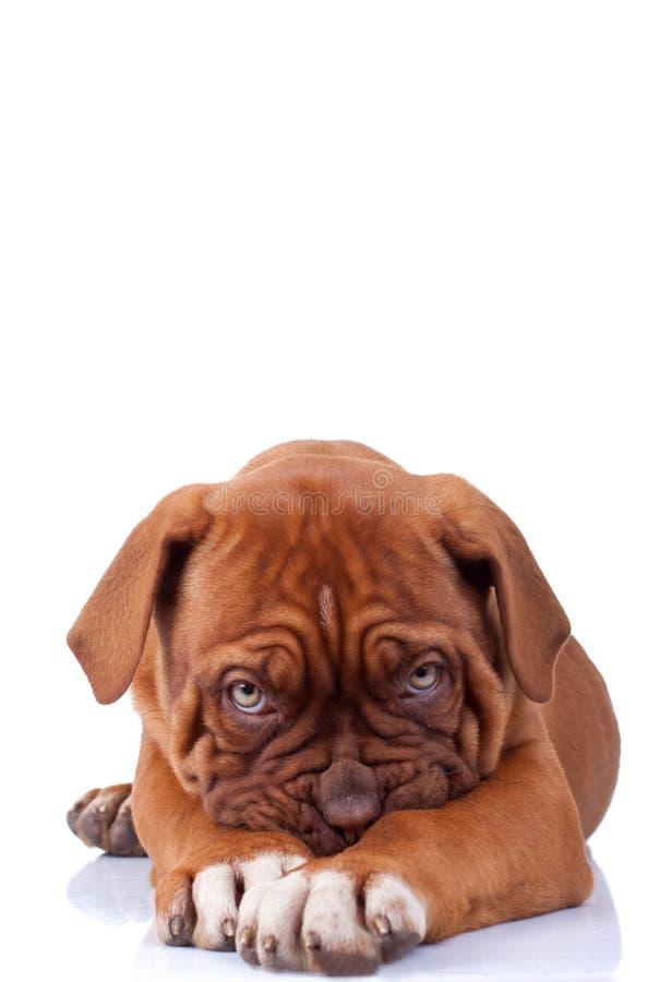 Schuw puppy stock afbeeldingen