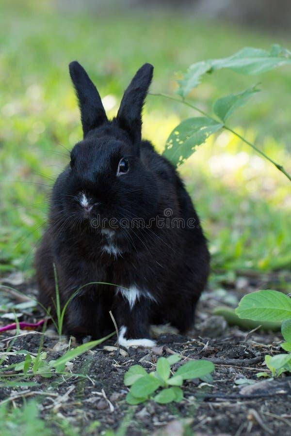 Schuw zwart konijntjeskonijn met zaailing royalty-vrije stock foto