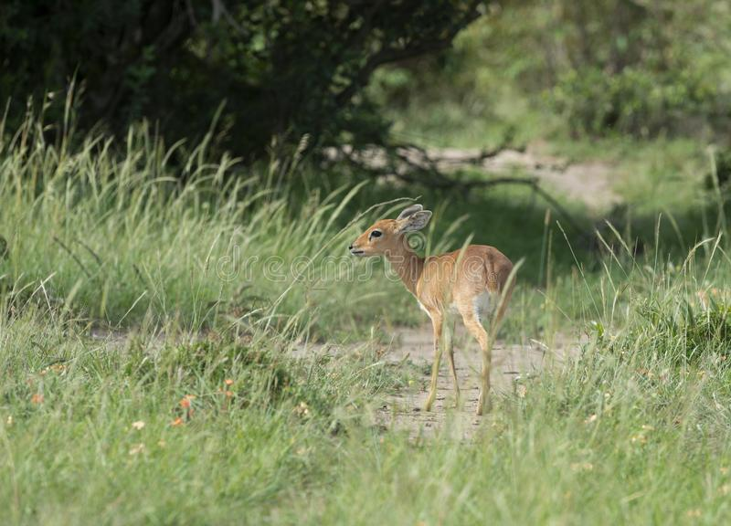 Schuwe die Bushbuck in Masai Mara Game Reserve, Afrika wordt gezien stock afbeelding