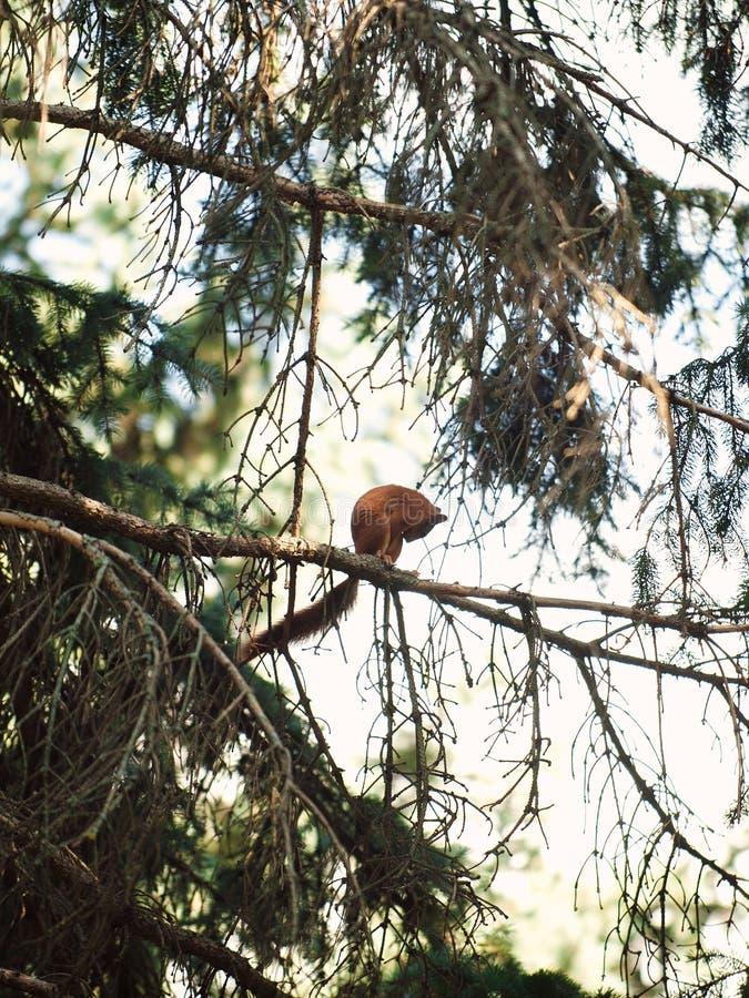 Schuwe Eekhoorn royalty-vrije stock afbeeldingen