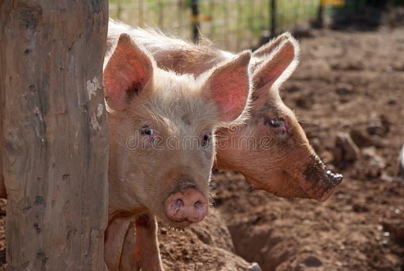 Schuwe varkens stock fotografie