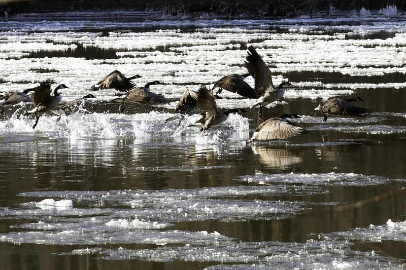 Gooes in iced river flying to escape. Schuylkill River, PA USA-01 26 2019:Gooes in iced river flying to escape royalty free stock photo