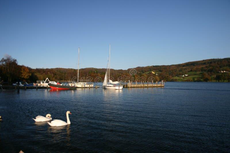 Schwäne auf dem See stockbild