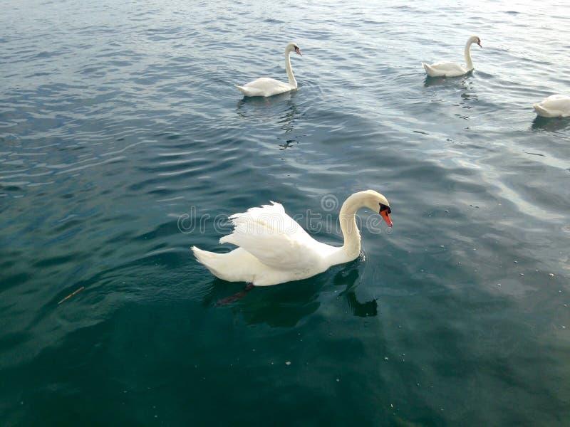 Schwäne auf dem See stockfotos