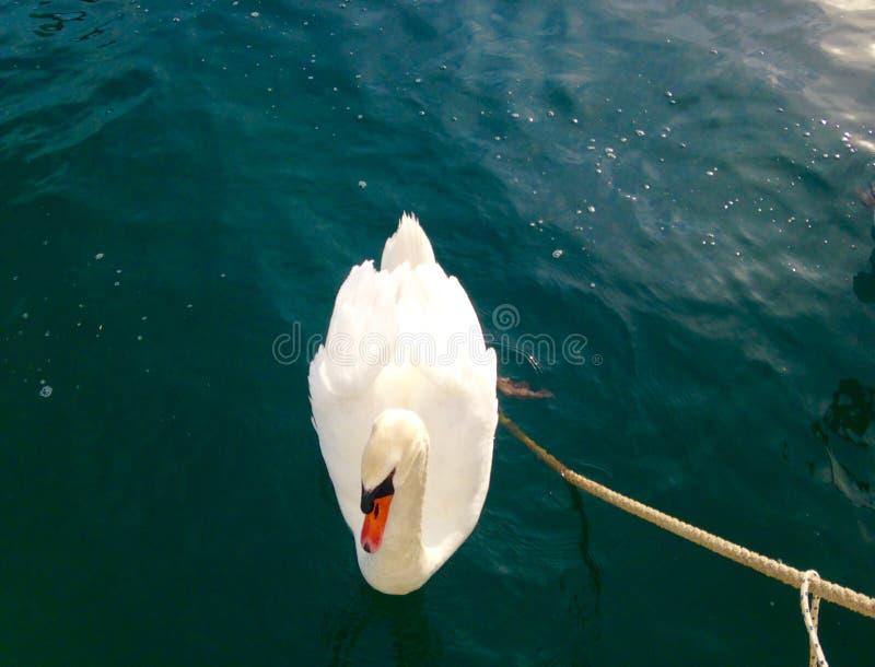 Schwäne auf dem See stockfotografie